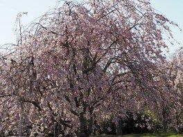 たけべの森公園の桜 画像(2/2)
