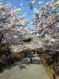 建長寺の桜 画像(3/5)