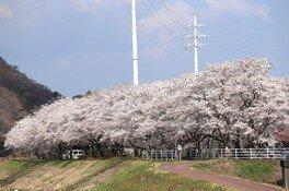 久慈川河川敷の桜並木の桜 画像(2/4)