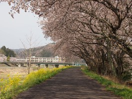 久慈川河川敷の桜並木の桜 画像(3/4)