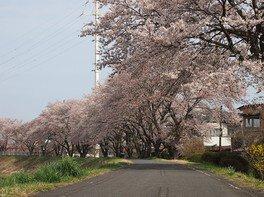 久慈川河川敷の桜並木の桜 画像(4/4)