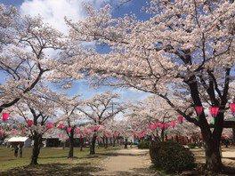 天覧山・中央公園の桜 画像(2/3)