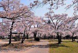 天覧山・中央公園の桜 画像(3/3)