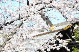 靖国神社の桜 画像(4/4)