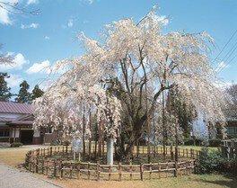 足羽山公園の桜 画像(2/2)
