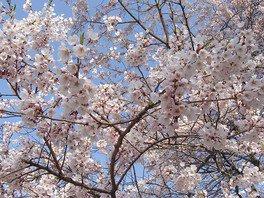 醍醐桜 画像(4/5)