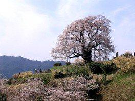 醍醐桜 画像(5/5)