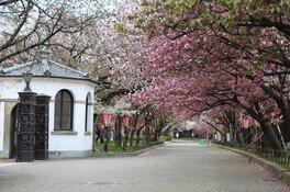 造幣局 桜の通り抜け 画像(2/3)