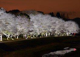 亀岡運動公園の桜 画像(2/2) ※ライトアップの様子