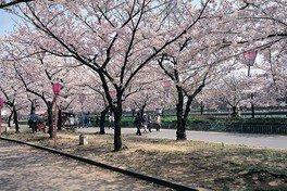 毛馬桜之宮公園の桜 画像(2/5)