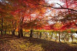 八千代湖(土師ダム)の紅葉 画像(2/4)