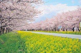 桜と菜の花ロードの桜 画像(2/5)