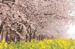 桜と菜の花ロードの桜 画像(3/5)