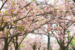 大阪城公園の桜 画像(2/5)