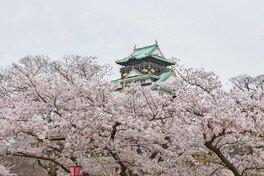 大阪城公園の桜 画像(3/5)