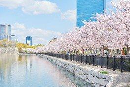 大阪城公園の桜 画像(4/5)