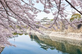 大阪城公園の桜 画像(5/5)