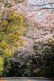 四王寺林道・岩屋城跡の桜 画像(3/3)