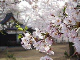 経塚山公園の桜 画像(2/5)