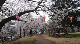 経塚山公園の桜 画像(3/5)