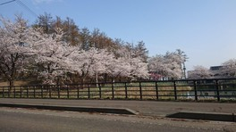 経塚山公園の桜 画像(4/5)