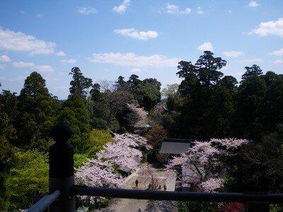 笠森観音(笠森寺)の桜