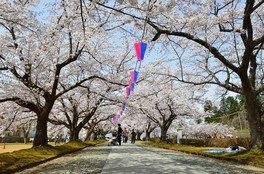 堂ノ前公園の桜 画像(2/3)