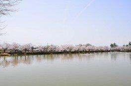 堂ノ前公園の桜 画像(3/3)