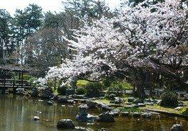 白山公園の桜 画像(2/3)