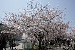 白山公園の桜 画像(3/3)