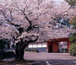 旭ヶ岡公園の桜 画像(2/5)