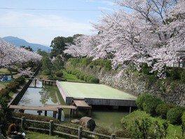 旭ヶ岡公園の桜 画像(5/5)