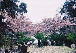 抱湖園の桜 画像(2/4)