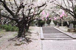 大山緑地の桜 画像(3/3)