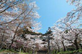 宝満宮竈門神社の桜 画像(3/5)