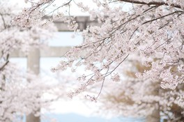 宝満宮竈門神社の桜 画像(4/5)