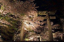 宝満宮竈門神社の桜 画像(5/5)