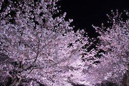 黒鳥山公園の桜 画像(2/2)