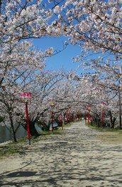 小城公園の桜 画像(3/4)