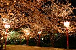小城公園の桜 (4/4)