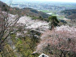 太平山の桜 画像(2/5)