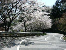 太平山の桜 画像(3/5)