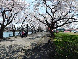 鷹巣中央公園の桜 画像(3/4)