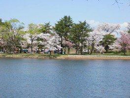 鷹巣中央公園の桜 画像(4/4)