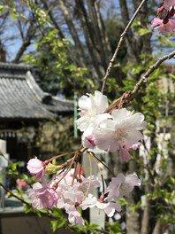 川越 熊野神社の桜 画像(2/3)