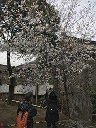 川越 熊野神社の桜 画像(3/3)