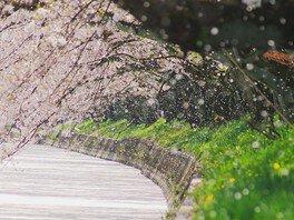 大口町 五条川の桜並木 画像(2/5)