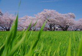 大口町 五条川の桜並木 画像(4/5)