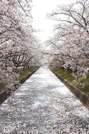 大口町 五条川の桜並木 画像(5/5)