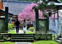 松前公園の桜 画像(2/2)